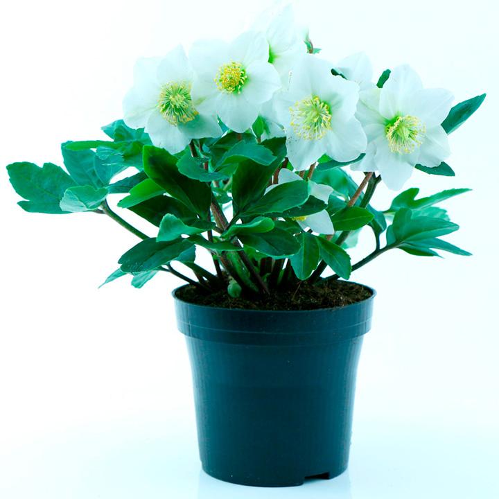 Helleborus Plant - Happy Days
