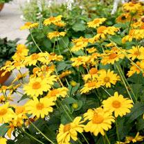 Heliopsis Plant - Tuscan Sun