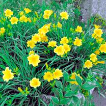 Hemerocallis Plant - Stella De Oro