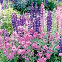 Hesperis Plant - Violet