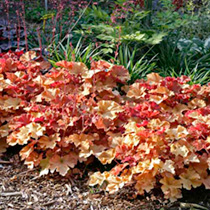 Heuchera Plants - Marmalade