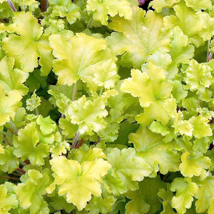 Heuchera Plant - Lime Marmalade