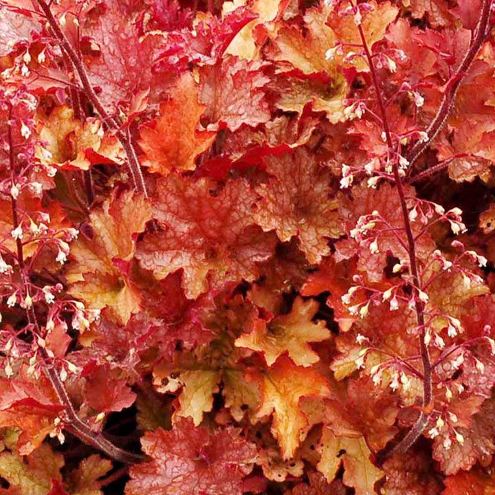 Heuchera Plant - Ginger Peach - Suttons Seeds and Plants