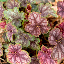 Heuchera Plant - Beauty Colour