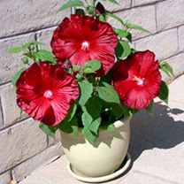 Hibiscus Plants - Honeymoon Mix