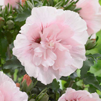 Hibiscus Chiffon Plants - Collection
