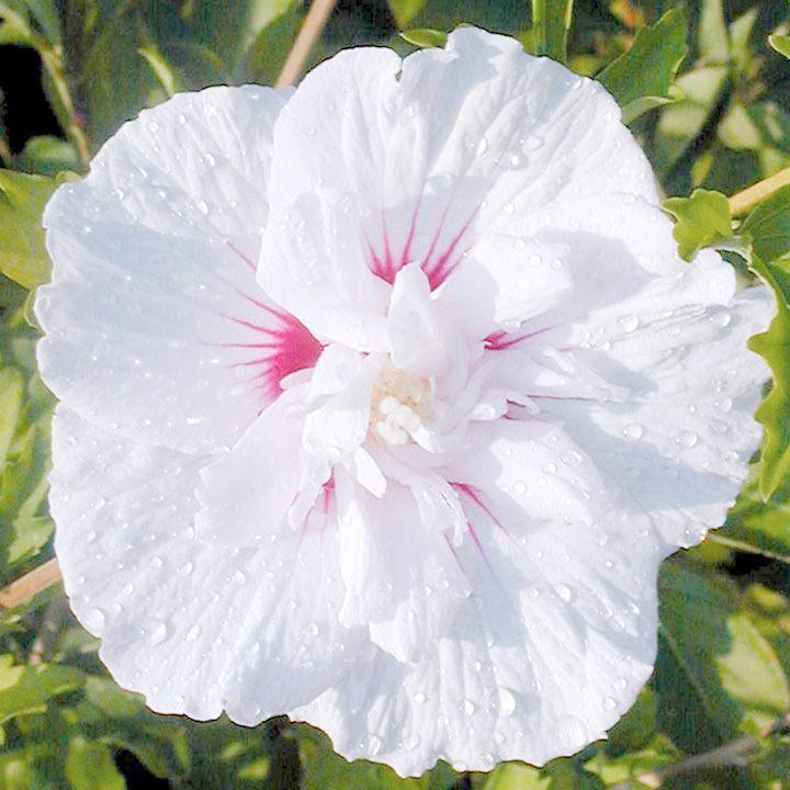 Hibiscus Chiffon Plant - China