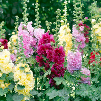 Alcea Plants - Mix