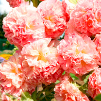 Hollyhock Plant - Peaches 'n' Dreams