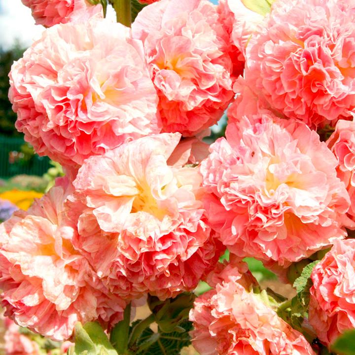 Hollyhock Plant - Peaches 'n' Dreams
