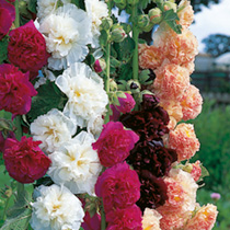 Hollyhock Seeds Chater's Mix  - A well-known and very beautiful variety of this cottage garden favourite. Strong stems of bright flowers in summer. HP Hardy perennial. Height 180cm (6').