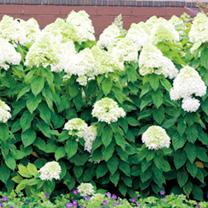 Hydrangea paniculata Plant - Limelight