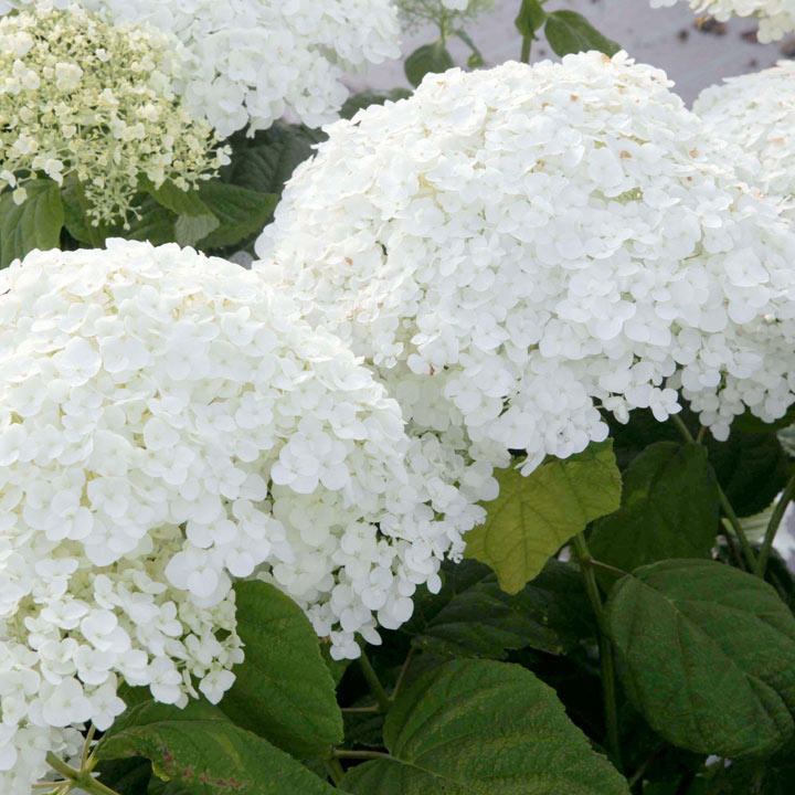 Hydrangea arborescens Plant - Strong Annabelle®