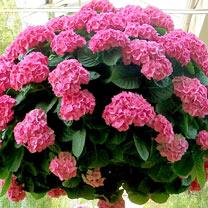 Hydrangea Plant - Pink Hanging Basket