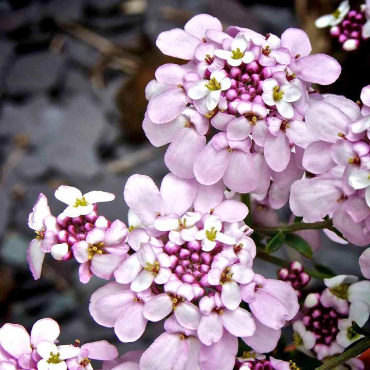 Iberis Plant - Pink Ice