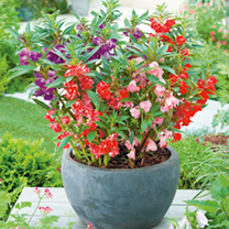 Impatiens Seeds - balsamina type Mix
