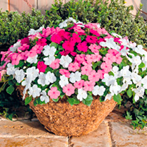 Impatiens Plants - F1 Lollipop Bubblegum Mix