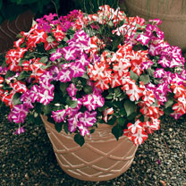Impatiens Plants - Accent Star Mixed