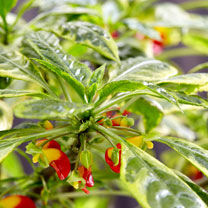 Impatiens Plants - Cockatoo Variegated