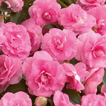 Impatiens Plants - Diadem Pink