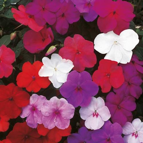Impatiens Seeds - Super Hybrid Mix