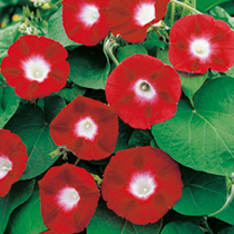 A captivating version of this climbing favourite, producing large flowers that are vibrant crimson with a contrasting white eye. Flowers July-Septembe