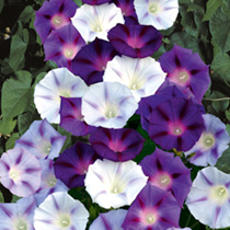 An enchanting ipomoea of these popular, fast-growing climbers, producing a glorious display of large, trumpet-shaped blooms in a range of blue shades,