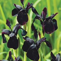 Iris chrysographes Plants- Black Form