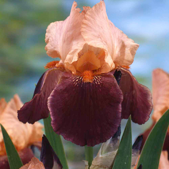 Iris Plants - Cimmaron Strip