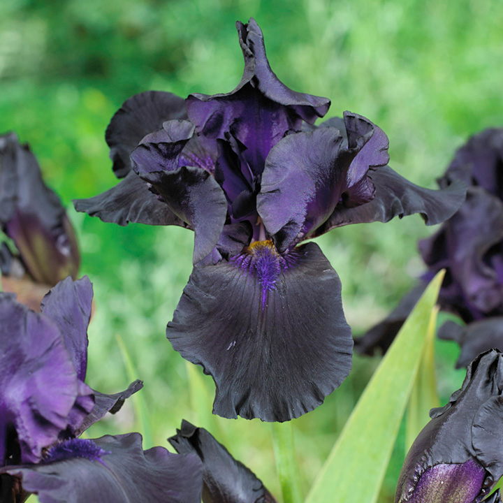 Iris germanica Plant - Black Dragon