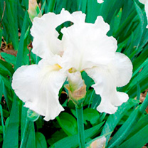 Iris germanica Plants - Collection