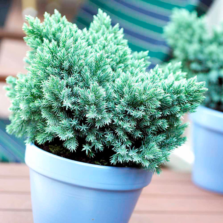 Juniperus squamata Blue Star