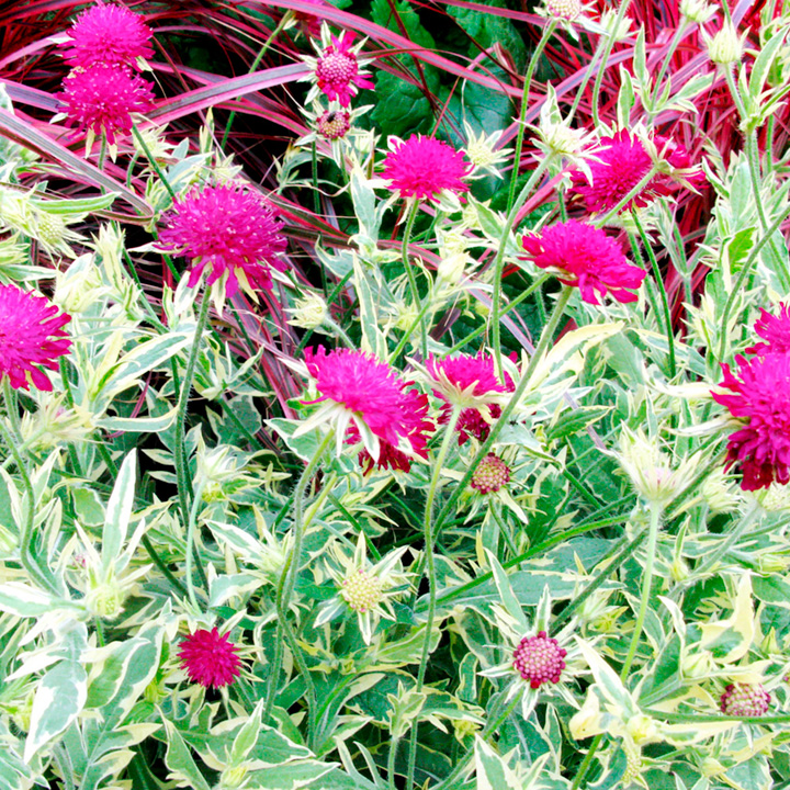 Knautia Plant - Thunder and Lightening