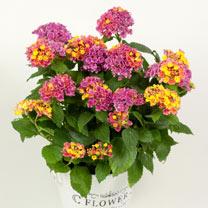 Lantana Plant - Lantropices Pink/Yellow