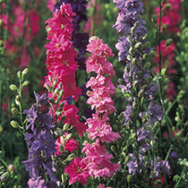 Larkspur Seeds - 'Stock' Flowered Mix