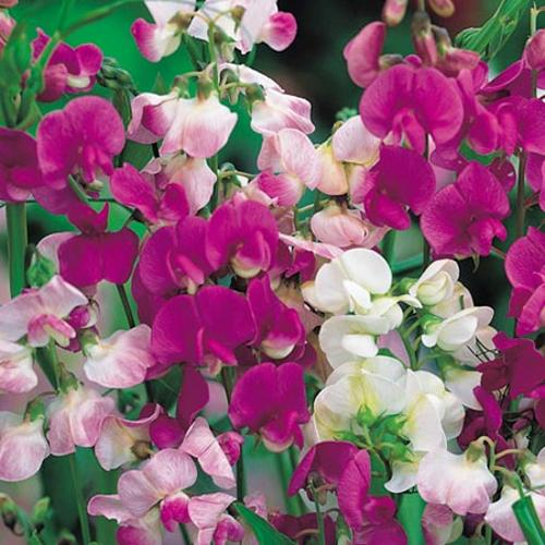 Sweet Pea Seeds - Everlasting Mix
