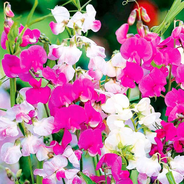 Lathyrus Latifolius Plants