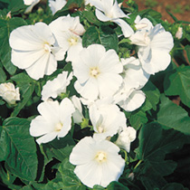 Pure white trumpet-like blooms. An attractive centrepiece in borders. Easy to grow. An economical way to fill a large border with colour. The large bu