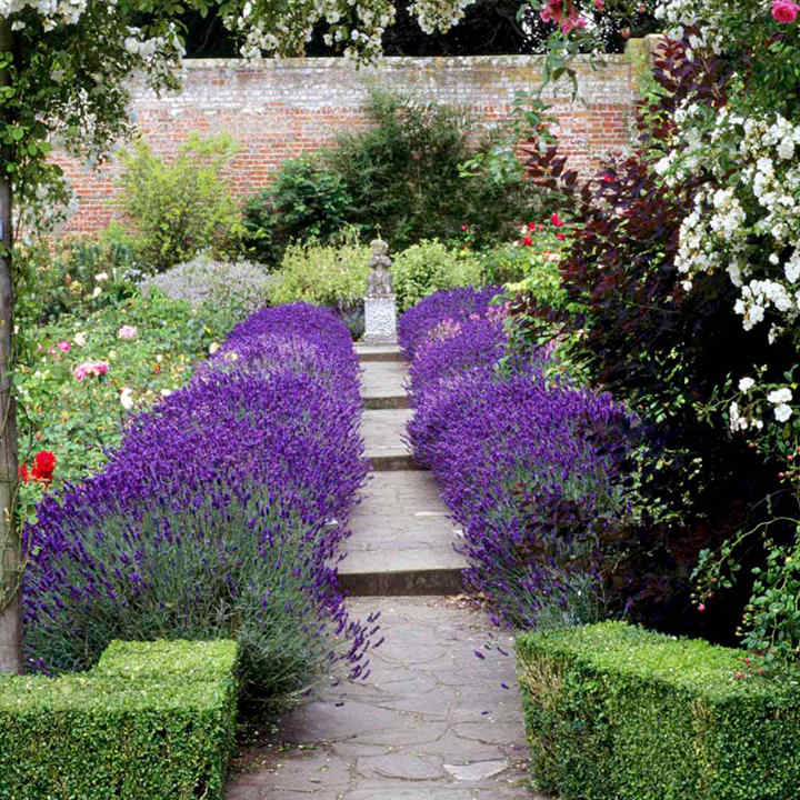 Lavender Plants - Hidcote Blue