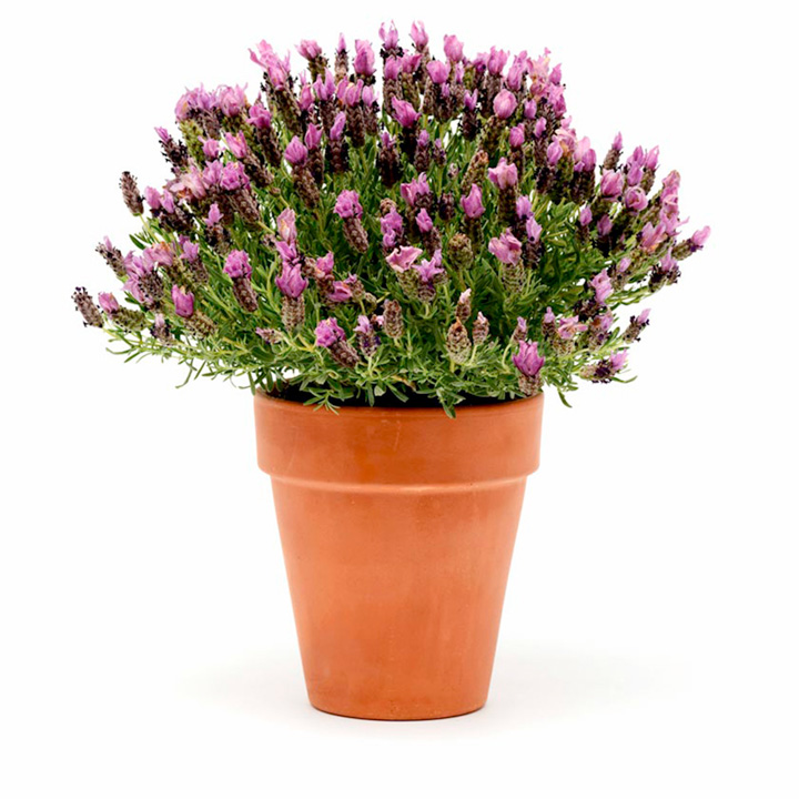 Lavender Plants - Bandera Purple