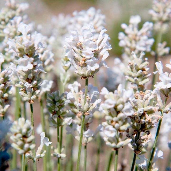 Lavender Plant - Arctic Snow