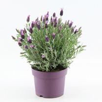 Lavender Plant - Anouk