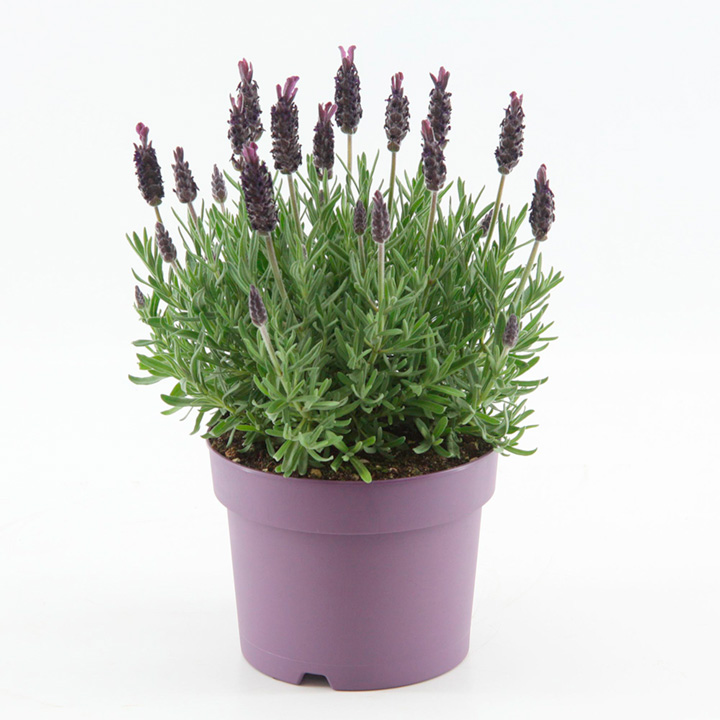 Lavender Plant - Anouk Dark Purple