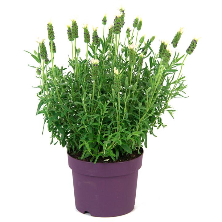 Lavender Plant - Anouk White