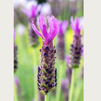 Lavender Plant - Lusi Purple