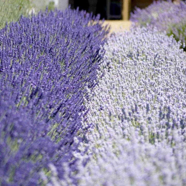 Lavender Plants - Olympia