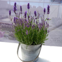 Lavender Plant - Forever Blue