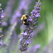 Lavender Plant - Phenomenal