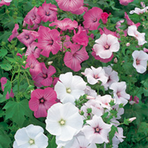Lavatera trimestris Seeds - Beauty Mix