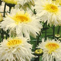 Leucanthemum Seeds - Crazy Daisy